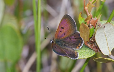 A tiny Black Spruce bog was alive with Bog Coppers (Lycaena epixanthe) on this July afternoon. The bogs must have cranberries (Vaccinium spp.) and this one did. [July 19; bog on Jay West Rd, Carlton County, MInnesota]