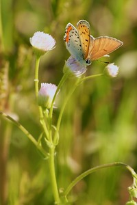 Bronze Copper (Lycaena hyllus) males have more evenly colored upper wings [June; Douglas County, Minnesota]