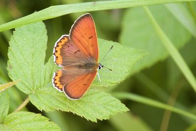 copper Bronze Copper Lycaena hyllus McDavitt Road Sax-Zim Bog MN IMG_6342 CR2