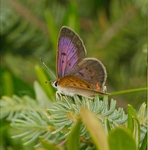 Dorcas Copper (Lycaena dorcas) in a black spruce/sphagnum moss bog [Fond du Lac State Forest, Carlton County, Minnesota]
