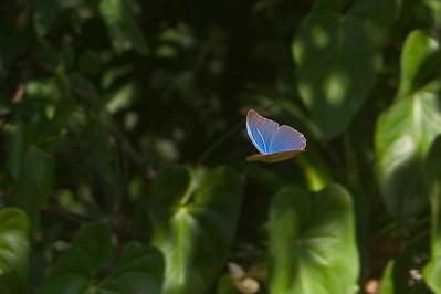 J-Blue Morpho in flight Rancho Casa Grande 828_2900