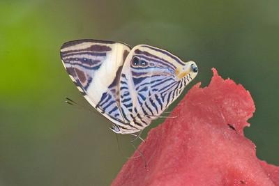 Butterfly 823_2345