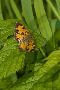 Crescent Northern Crescent Phyciodes selenis A SS 480_8027