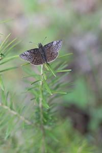 duskywing Dreamy Duskywing Errynis icelus Sax-Zim Bog MNDSC08157