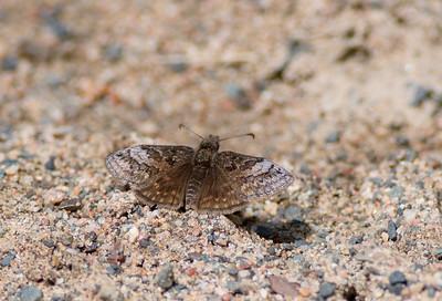 duskywing Dreamy Duskywing Errynis icelus Sax-Zim Bog MNDSC08166