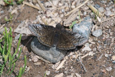 """Note the bend at the """"wrist"""" of the wing, the tiny white spot at the outer edge of the front wing and large gray patch at wrist that helds identify the Dreamy Duskywing (Erynnus icelus) [May 28; Fond du Lac State Forest, Carlton County, MInnesota]"""