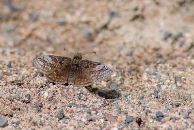 duskywing Dreamy Duskywing Errynis icelus Sax-Zim Bog MNDSC08164