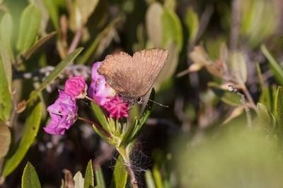 elfin Brown Elfin Callophrys augustinus on Bog Laurel Kalmia polifolia IMG_1612 CR2