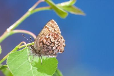 elfin Western Pine Elfin Callophrys eryphon Black Hills SD IMG_0010275 CR2