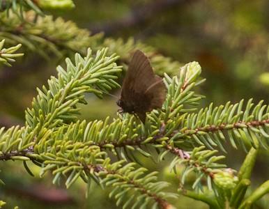 elfin Brown Elfin Callophrys augustinus Owl Avenue Sax-Zim Bog MN IMG_9844