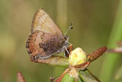 Brown Elfin (Callophrys augustinus) on Labrador Tea in a sphagnum moss/black spruce bog [May; Fond du Lac State Forest, Carlton County, Minnesota]