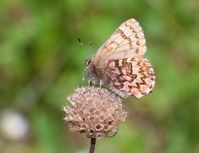 elfin Western Pine Elfin Callophrys eryphon Black Hills SD IMG_0010280 CR2