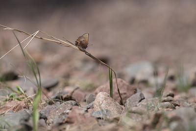 elfin Brown Elfin Callophrys augustinus Stensaas Street Toivola Swamp ATV trail Sax-Zim Bog MNDSC07472