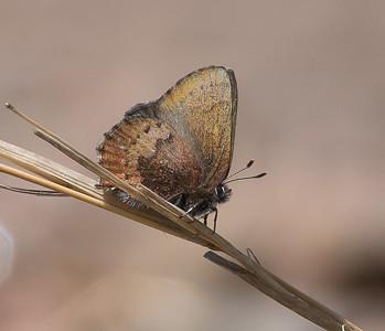 elfin Brown Elfin Callophrys augustinus Stensaas Street Toivola Swamp ATV trail Sax-Zim Bog MNDSC07479