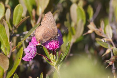 elfin Brown Elfin Callophrys augustinus on Bog Laurel Kalmia polifolia IMG_1599 CR2