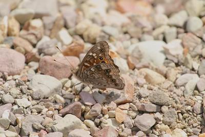 Empress Leilia Asterocampa leilia Big Bend National Park TX 149_4952