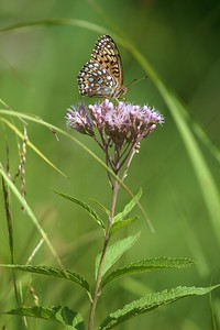 Atlantis Fritillary (Speyeria atlantis) on Joe-Pye Weed [July; Minnesota]