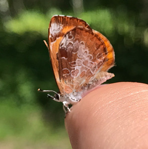Harvester butterfly Feniseca tarquinius found by Clinton Welcome Center Owl Avenue Gray Jay Way Sax-Zim Bog MNIMG_9014
