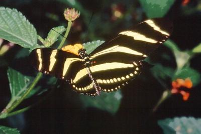 heliconia Zebra Heliconius charithonia TX 2