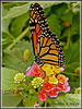 BUTTERFLIES : 1 gallery with 5 photos