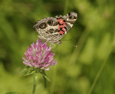 Populations of American Ladies (Vanessa virginiensis) vary wildly from one year to the next [July; Carlton County, Minnesota]