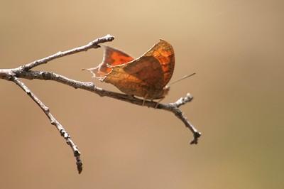 Leafwing Goatweed Leafwing Anaea andria Big Bend NP TX 148_4825