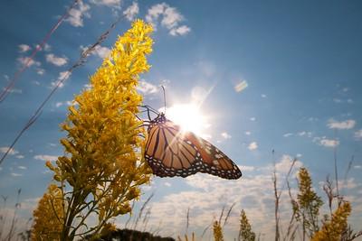 Monarch Danaus plexippus Hayden Prairie IA IMG_0065529