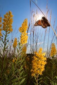 Monarch Danaus plexippus Hayden Prairie IA IMG_0065499