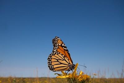 Monarch Danaus plexippus Hayden Prairie IA IMG_0065441