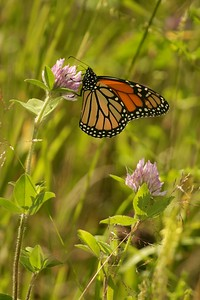 Monarchs migrate all the way to the Sierra Madre Mountains in Mexico to overwinter with millions of their own kind. Amazingly, it is the next generation that finds its way back north [August; Carlton County, Minnesota]