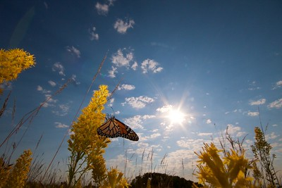 Monarch Danaus plexippus Hayden Prairie IA IMG_0065533