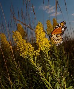 Monarch Danaus plexippus Hayden Prairie IA IMG_0065514