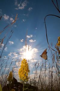 Monarch Danaus plexippus Hayden Prairie IA IMG_0065523