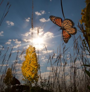 Monarch Danaus plexippus Hayden Prairie IA IMG_0065522
