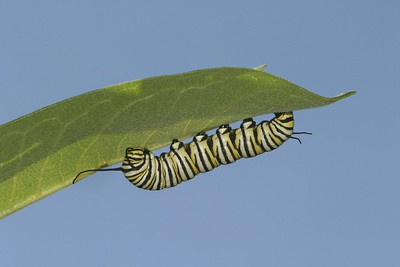 Monarch caterpillars grow fast on a diet of milkweed leaves [August; Carlton County, Minnesota]