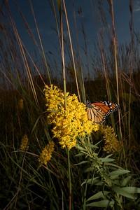 Monarch Danaus plexippus Hayden Prairie IA IMG_0065521