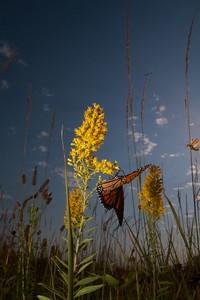 Monarch Danaus plexippus Hayden Prairie IA IMG_0065510