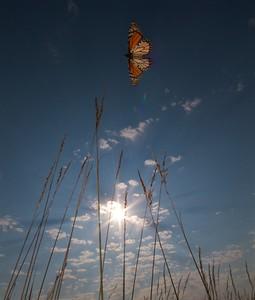 Monarch Danaus plexippus Hayden Prairie IA IMG_0065518