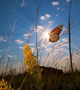 Monarch Danaus plexippus Hayden Prairie IA IMG_0065520