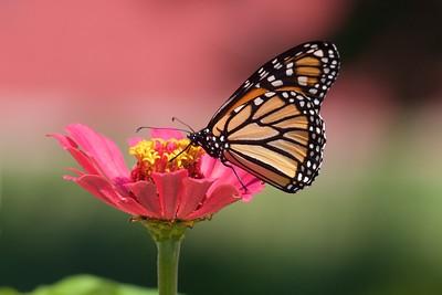 Monarch Danaus plexippus Galesburg IL IMG_8098 CR2