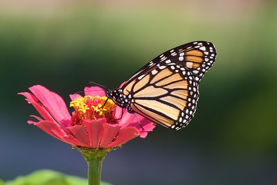 Monarch Danaus plexippus Galesburg IL IMG_8094 CR2