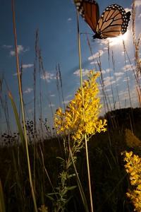 Monarch Danaus plexippus Hayden Prairie IA IMG_0065515