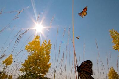 Monarch Danaus plexippus Hayden Prairie IA IMG_0065489