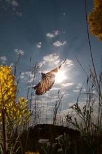 Monarch Danaus plexippus Hayden Prairie IA IMG_0065524