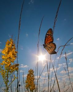 Monarch Danaus plexippus Hayden Prairie IA IMG_0065513