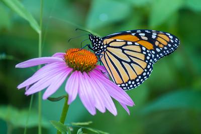 Monarch Danaus plexippus Eloise Butler Wildflower Gardens Theodore Wirth Park Golden Valley MNIMG_0465