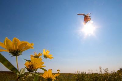 Monarch Danaus plexippus Hayden Prairie IA IMG_0065468