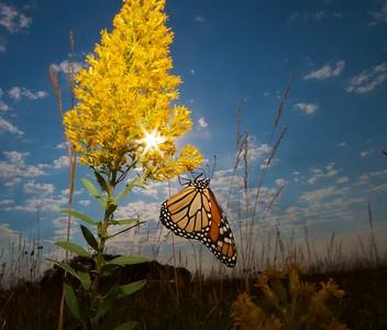 Monarch Danaus plexippus Hayden Prairie IA IMG_0065536
