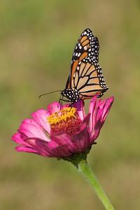 Monarch Danaus plexippus Galesburg IL IMG_8091 CR2