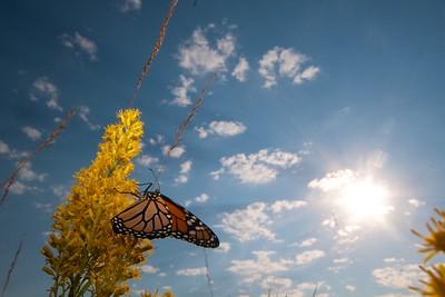 Monarch Danaus plexippus Hayden Prairie IA IMG_0065532